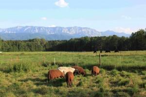 Herwig Kaltenböcks Tiere auf der Weide